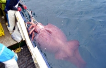 Colossal_squid_caught_in_February_2007