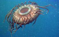 deepseajellyfish1_1