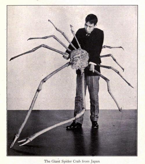 Spider crab - photo#35