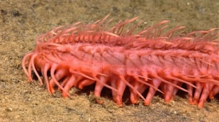 yuck worm