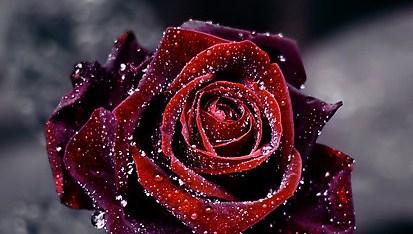 blk rose