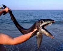 lancet fish