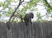 oklahoma rat-monkey creature