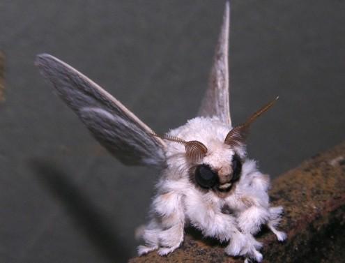 poodle moth - venezuela