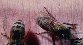 The Deadly Bees pic 17